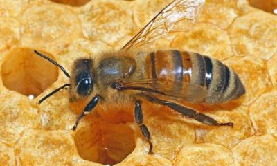 Honigbiene ©Steffen Remmel