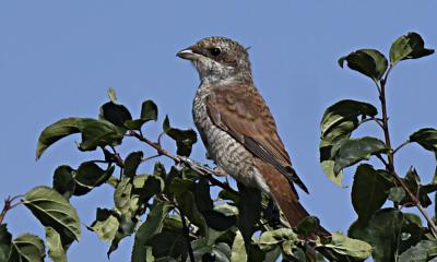 bald selbständiger Jungvogel ©Raju Varghese