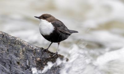 Die Wasseramsel, der einzige Singvogel, der schwimmt und taucht. @Michael Gerber